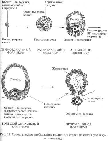 stepen-zrelosti-spermatozoidov-test