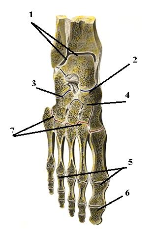 таранно - пяточно-ладьевидный сустав